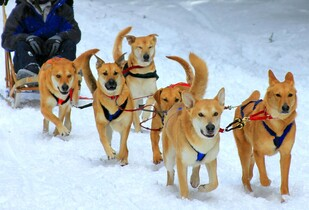 Chinook sled dogs